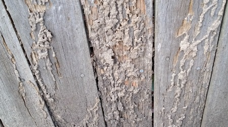 Termites in a Fence