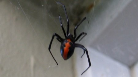 Redback Spiders Chippendale