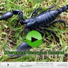 Scorpions And Scorpion Control Video