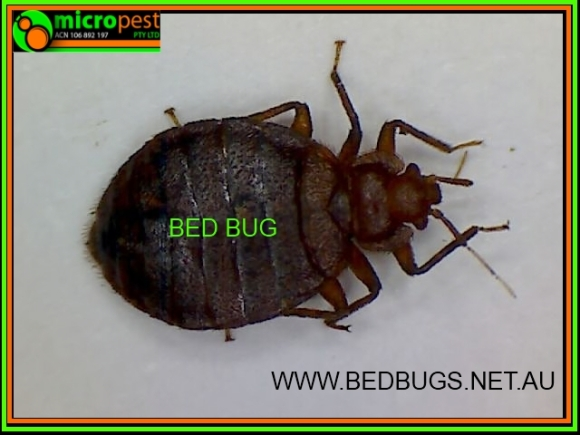 How To Kill Bedbugs Pest Control Sydney N S W Australia