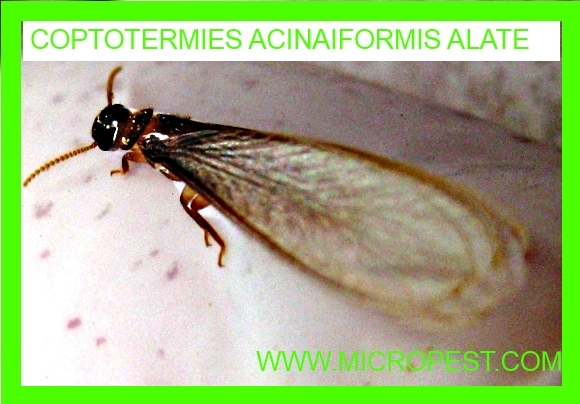 Flying Termites In Sydney Australia Pest Control Sydney