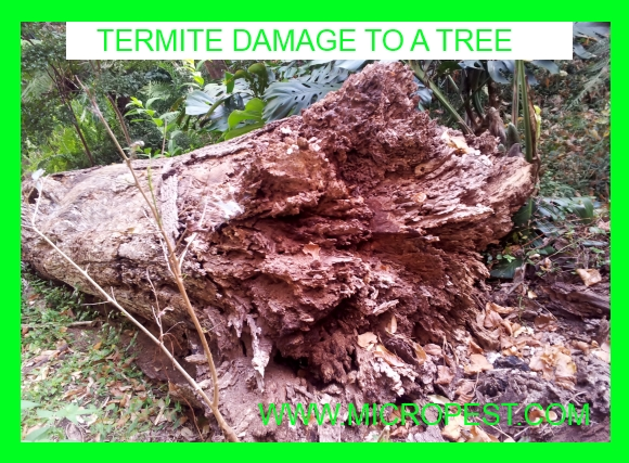 Coptotermes Acinaciformis Termites Sydney Pest Control Sydney