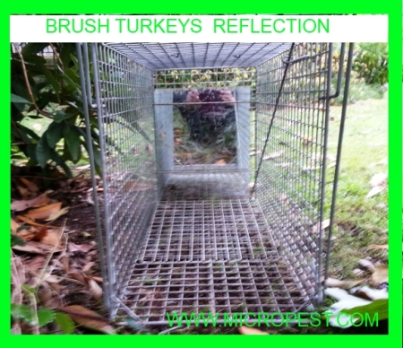 BRUSH TURKEYS REFLECTION 450.jpg