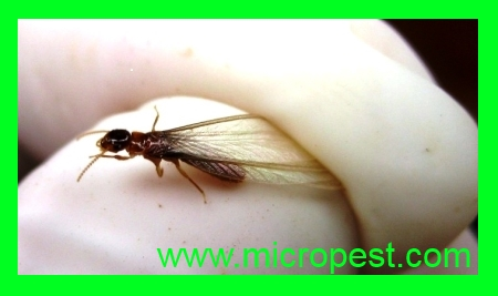Flying Termite Pymble