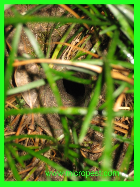 Sydney Funnel Web Spider Nest