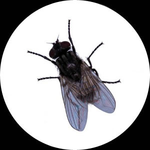 Flies and Fly Control by Micropest Pest Control Sydney