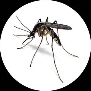 Mosquitoes and Mosquito Control by Micropest Pest Control Sydney