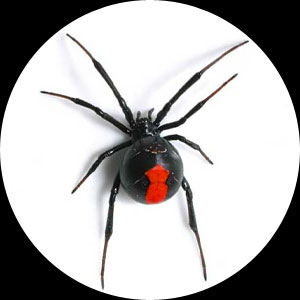 red-back-spider.jpg