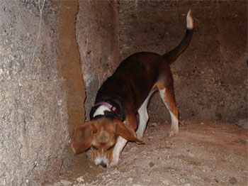 Rosey, a Beagle, is our termite inspection dog
