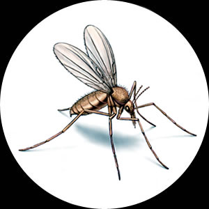 Sandflies, Midges and Sandfly Control Sydney